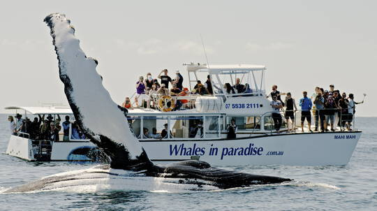 Whale Watching Full Day Cruise - From Brisbane