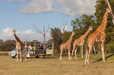 Giraffes at Werribee Zoo